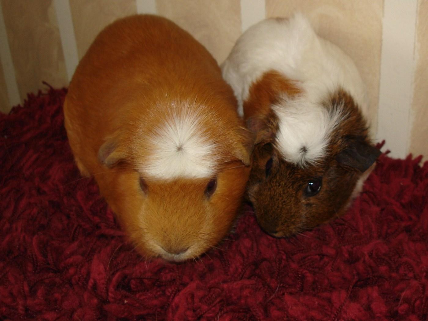 Guinea Pigs | Cyprus Pets & Animals