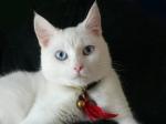 DEAF WHITE CAT