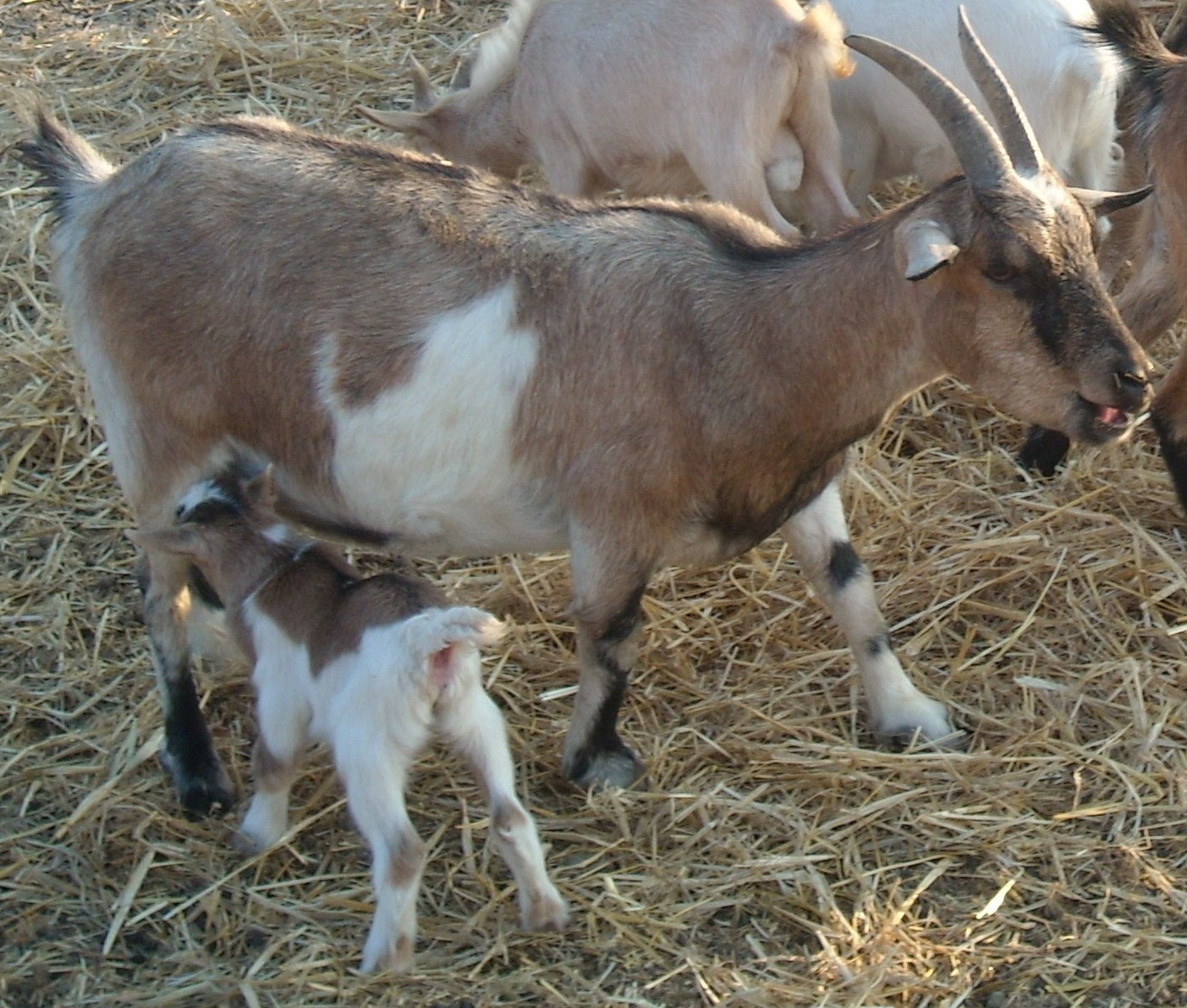 Pygmy Goats   Cyprus Pets & Animals