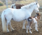 SHETLAND PONY MINIATURE MARE AND FOAL