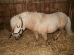 SHETLAND PONY MINIATURE STALLION