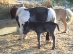 black filly foal2
