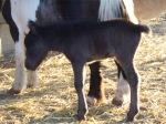black filly foal3
