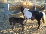 black filly foal